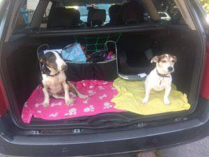 Dva psi v kufru auta